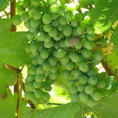 creatieve-vakantie-frankrijk-haute-saone-druiven